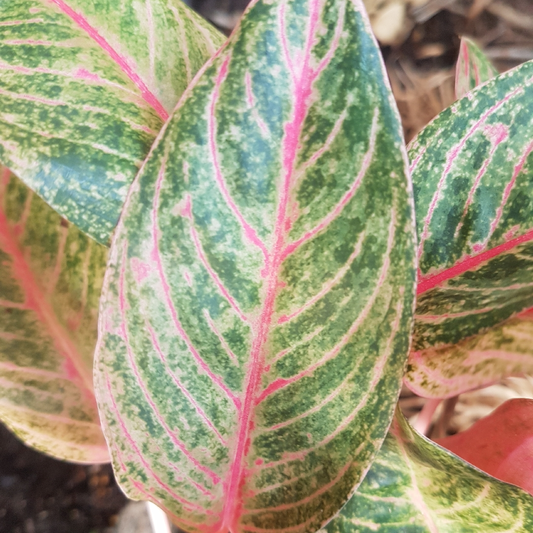 Chinese Evergreen in the GardenTags plant encyclopedia