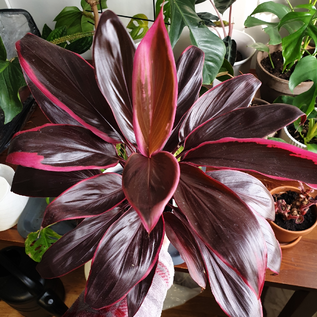 Cordyline Fruticosa Tango Cabbage Palm Tango In Gardentags Plant Encyclopedia