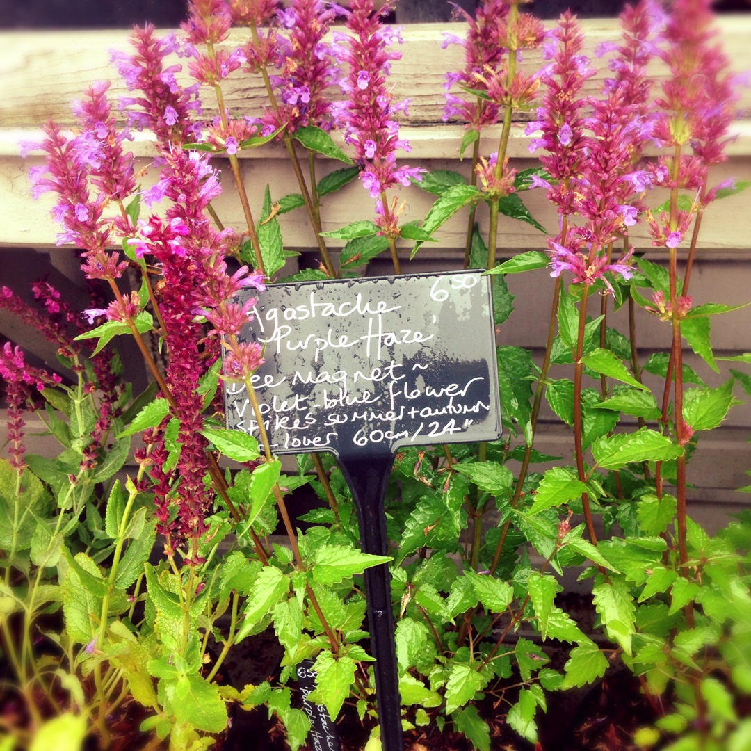 Agastache Purple Haze Giant Hyssop Purple Haze In Gardentags