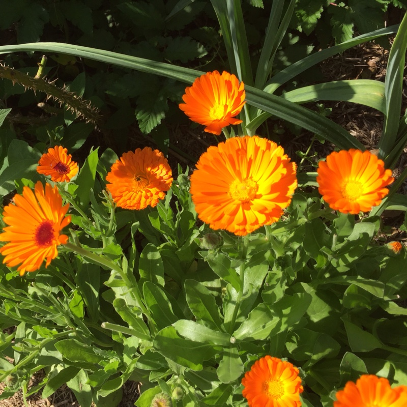 Pot Marigold in the GardenTags plant encyclopedia