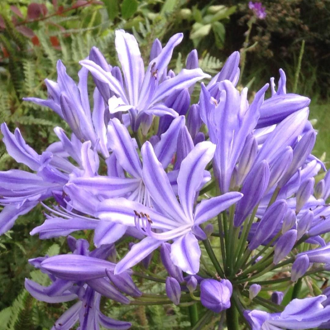 Agapanthus Purple Star African Lily Purple Star In Gardentags