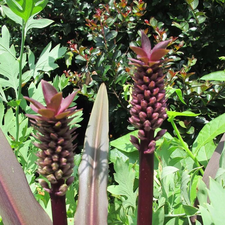 Pineapple Lily Oakhurst in the GardenTags plant encyclopedia
