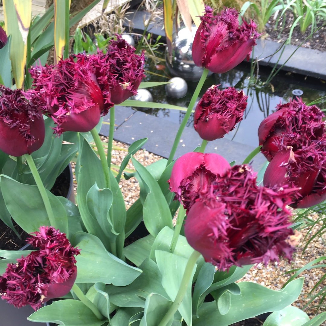 Tulip Black Jewel (Fringed) in the GardenTags plant encyclopedia