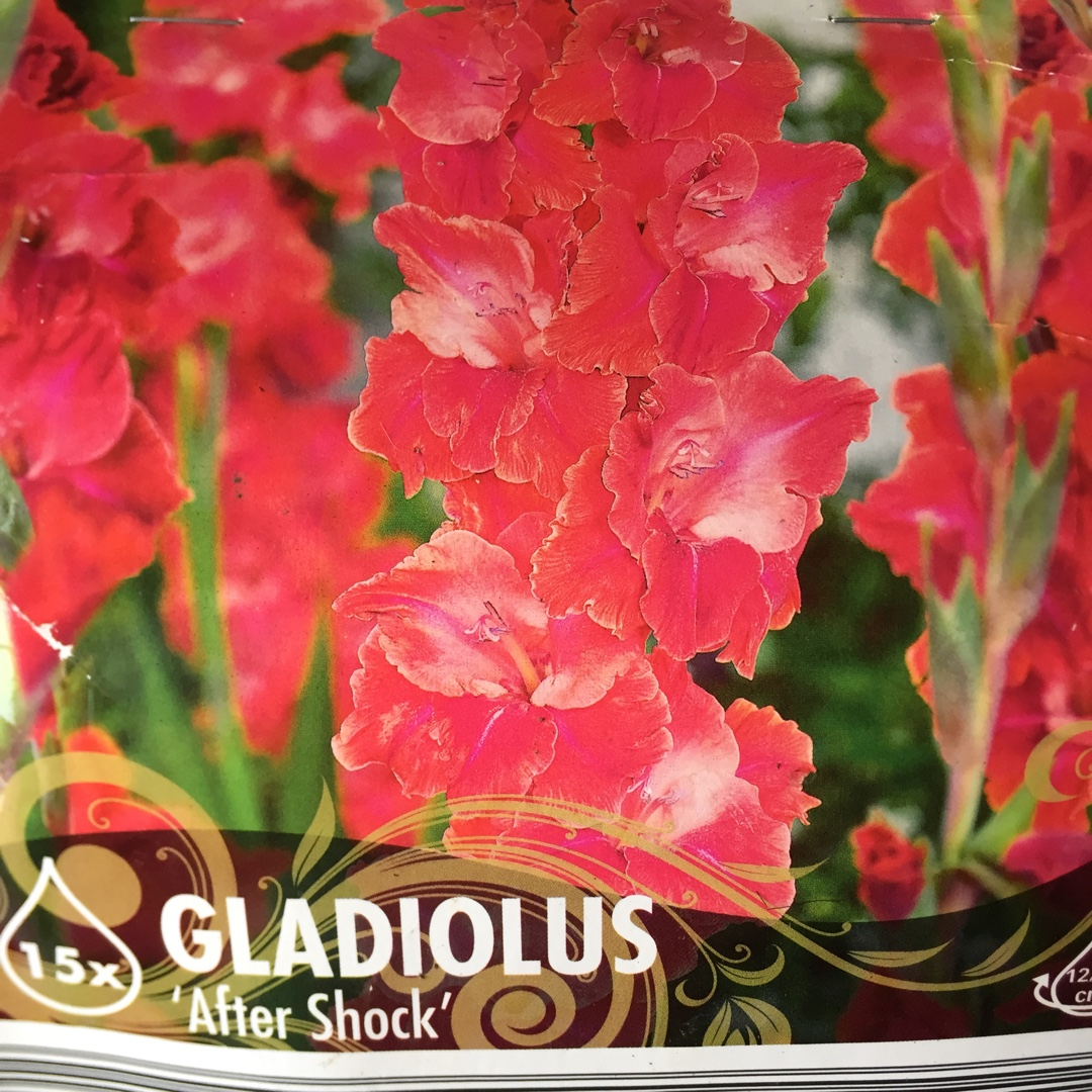 Gladioli After Shock in the GardenTags plant encyclopedia