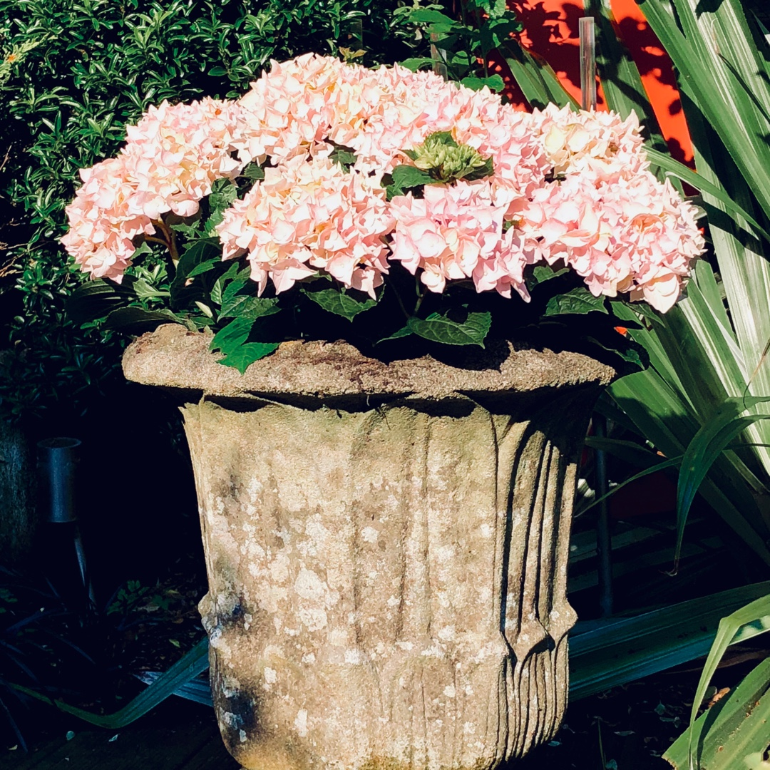 Hydrangea Music Soft Pink Salsa in the GardenTags plant encyclopedia