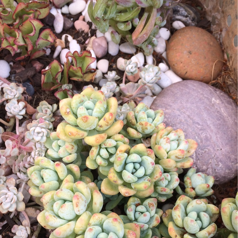 Sedum Clavatum in the GardenTags plant encyclopedia
