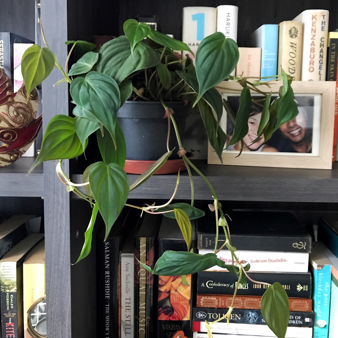 Philodendron Micans Velvet Heart Leaf Philodendron In Gardentags Plant Encyclopedia Philodendron micans, also called velvet leaf philodendron, does not have glossy, green leaves like the usual heart leaf philodendron. philodendron micans velvet heart leaf