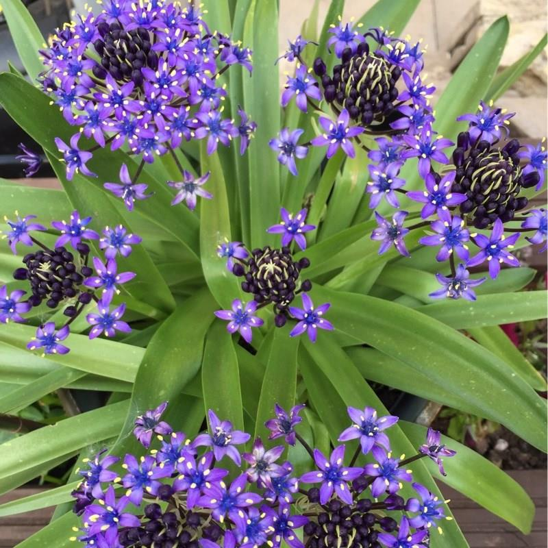 Portuguese Squill Sapphire Blue in the GardenTags plant encyclopedia