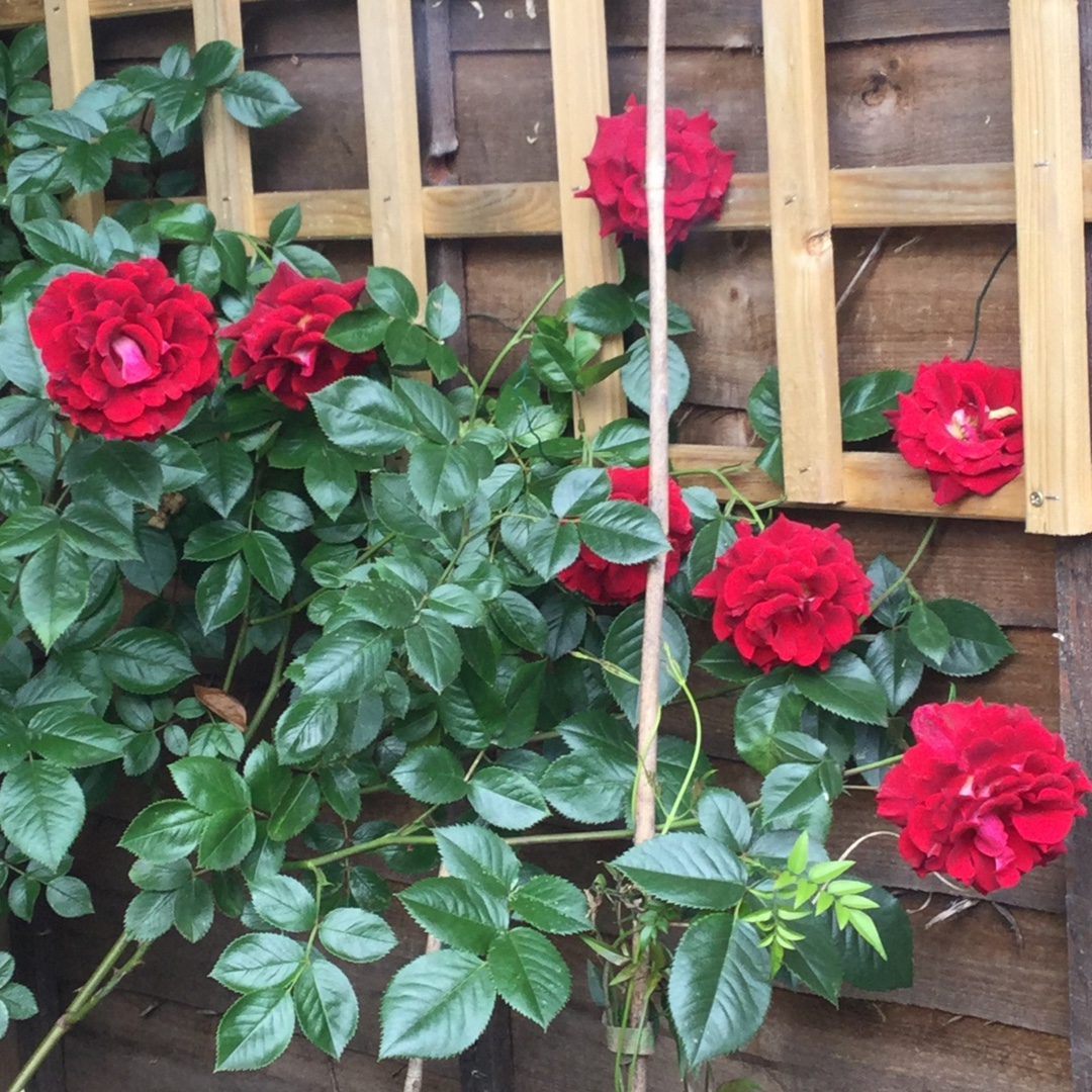 Rose Blooming Marvellous in the GardenTags plant encyclopedia