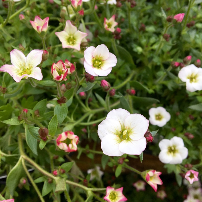 Saxifrage in the GardenTags plant encyclopedia