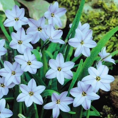 Ipheion Uniflorum Rolf Fiedler Spring Starflower Rolf Fiedler