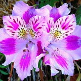 Peruvian Lily in the GardenTags plant encyclopedia