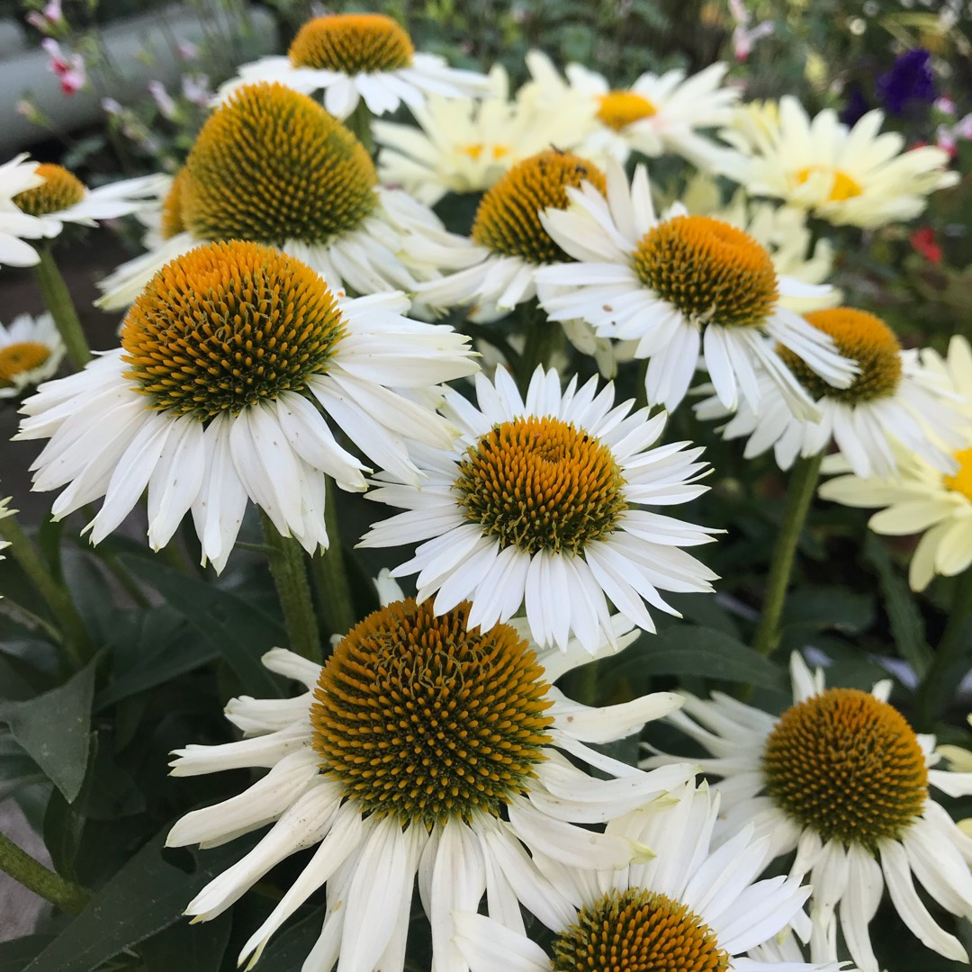 Coneflower White Meditation in the GardenTags plant encyclopedia