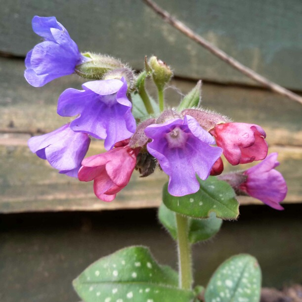 Common Lungwort in the GardenTags plant encyclopedia