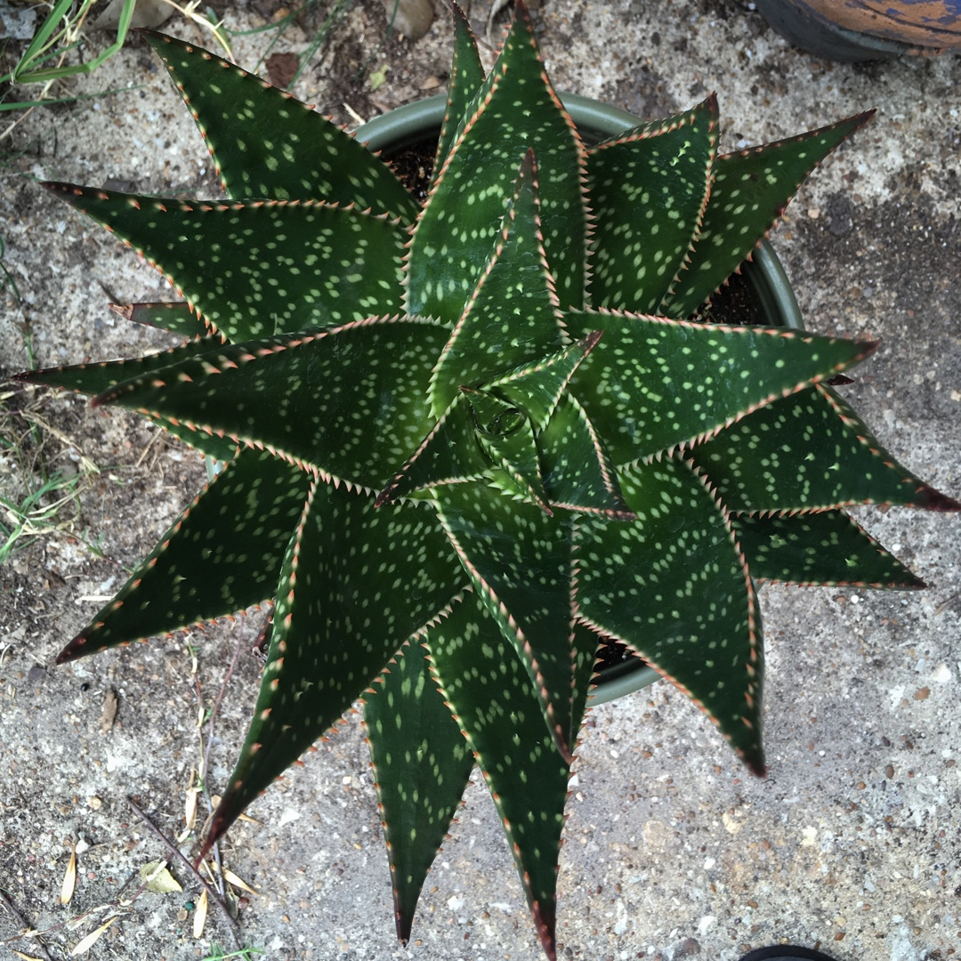 Aloe Hybrid Aloe /'Alligator/' Alligator Aloe