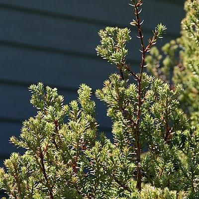 Southern White Cedar Ericoides in the GardenTags plant encyclopedia