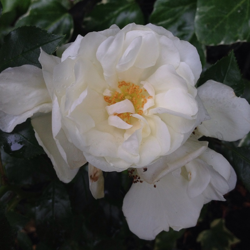 Rosa noaschnee rose flower carpet white in gardentags plant rosa noaschnee rose flower carpet white in gardentags plant encyclopedia mightylinksfo
