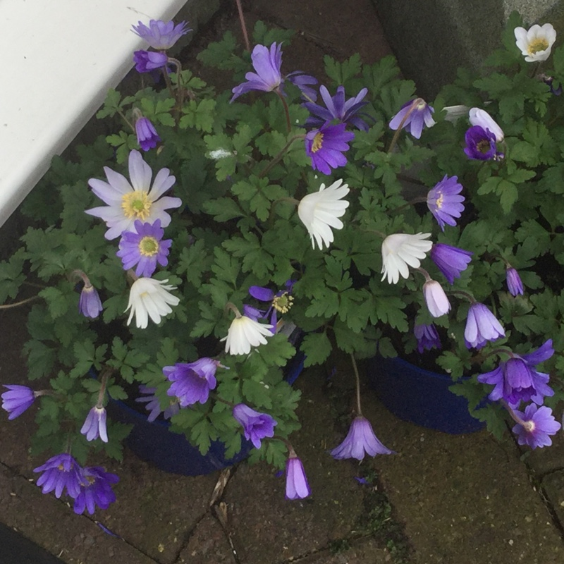 Anemone in the GardenTags plant encyclopedia