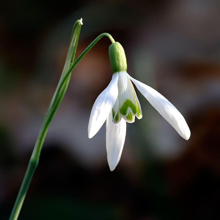 Snowdrop in the GardenTags plant encyclopedia