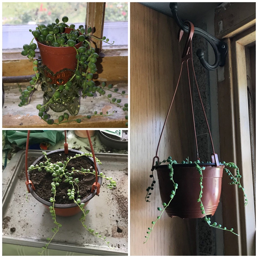 String of Pearls in the GardenTags plant encyclopedia