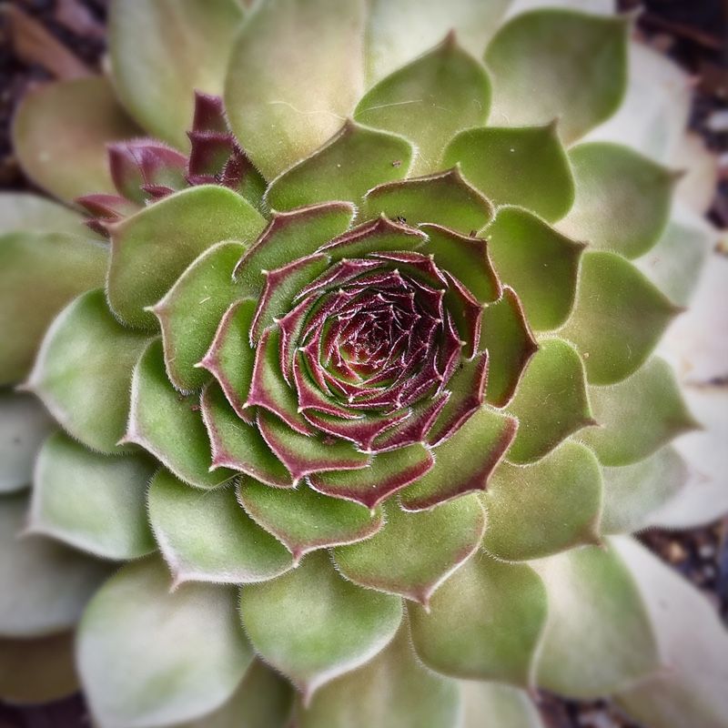 Sempervivum Pacific Red Rose in the GardenTags plant encyclopedia