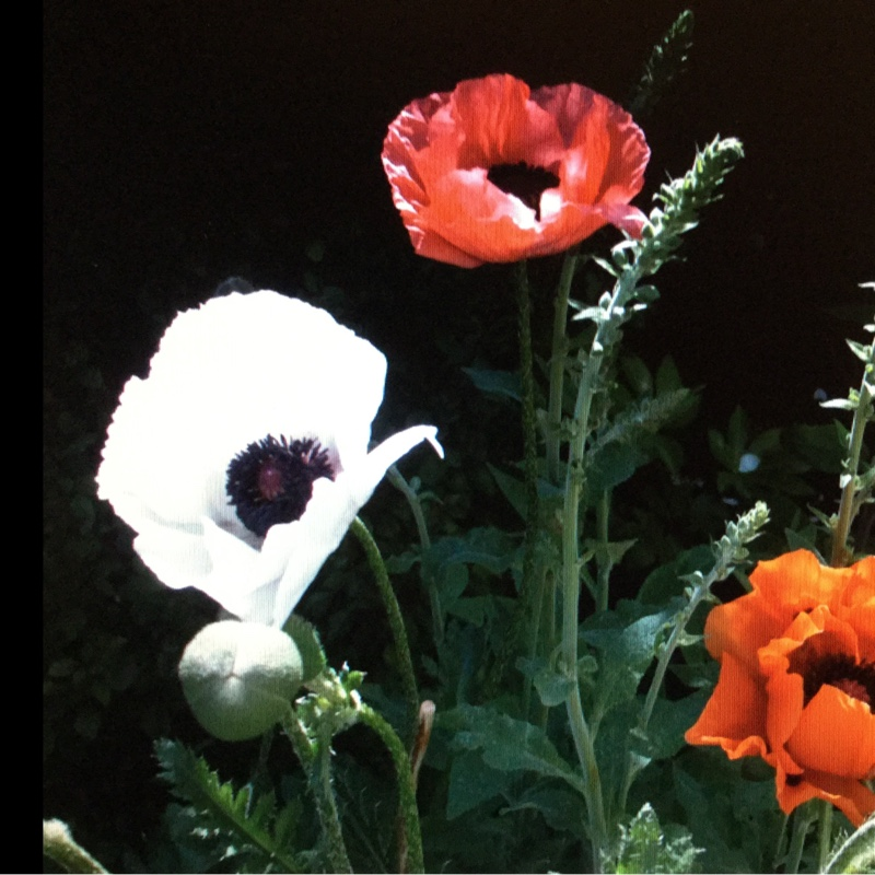 Poppy in the GardenTags plant encyclopedia