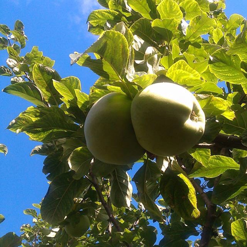 Apple Howgate Wonder in the GardenTags plant encyclopedia