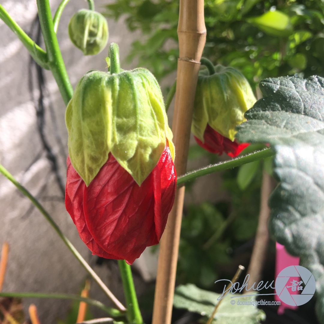 Flowering Maple Green-Eyed Lady in the GardenTags plant encyclopedia