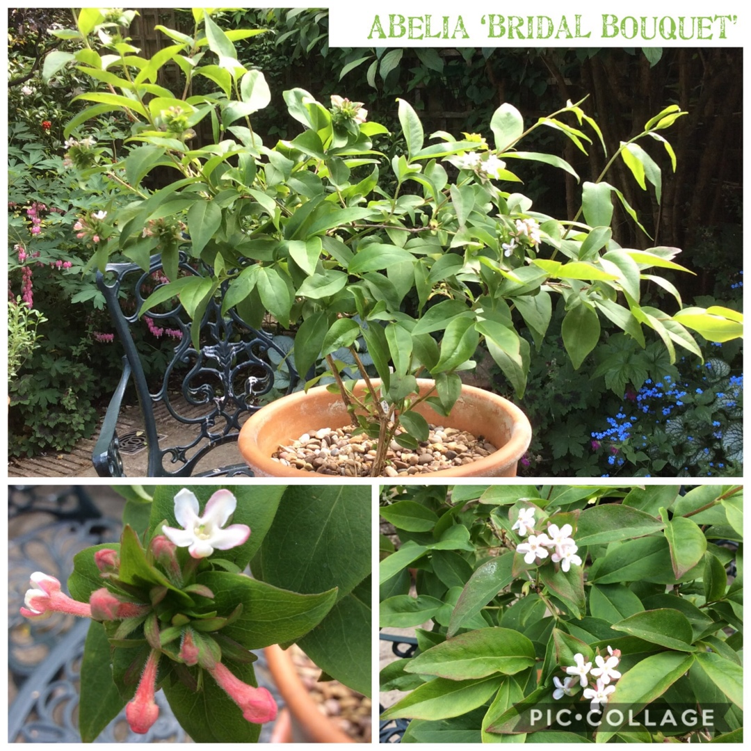 Fragrant Abelia Bridal Bouquet in the GardenTags plant encyclopedia