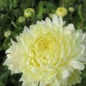 Chrysanthemum allouise white chrysanthemum white allouise in chrysanthemum white allouise in the gardentags plant encyclopedia mightylinksfo