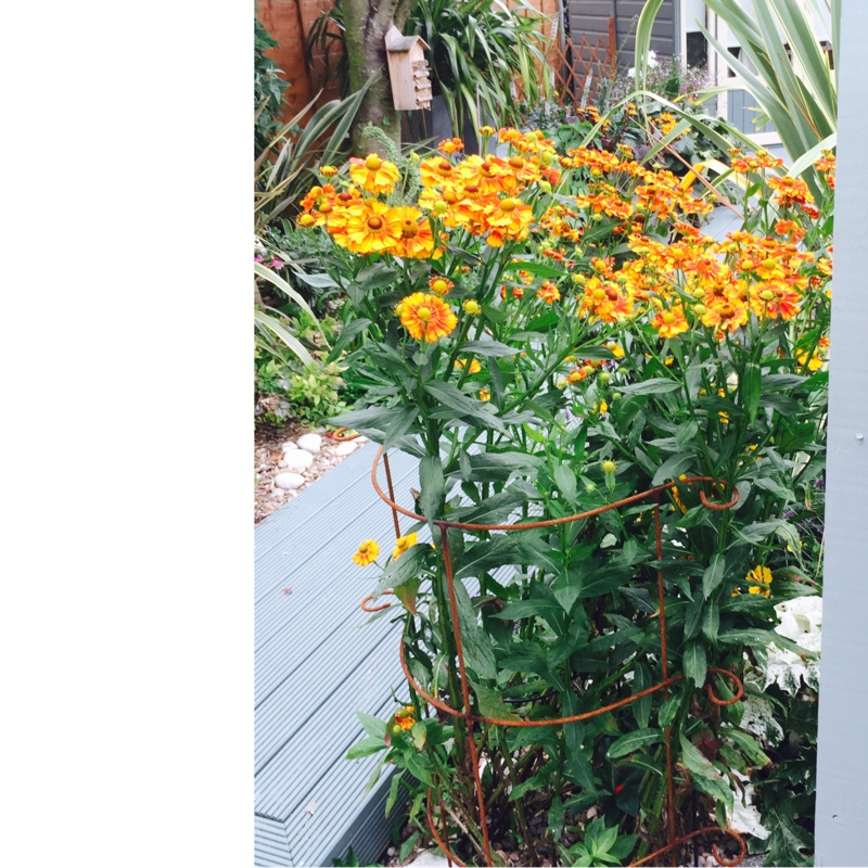 Sneezeweed in the GardenTags plant encyclopedia