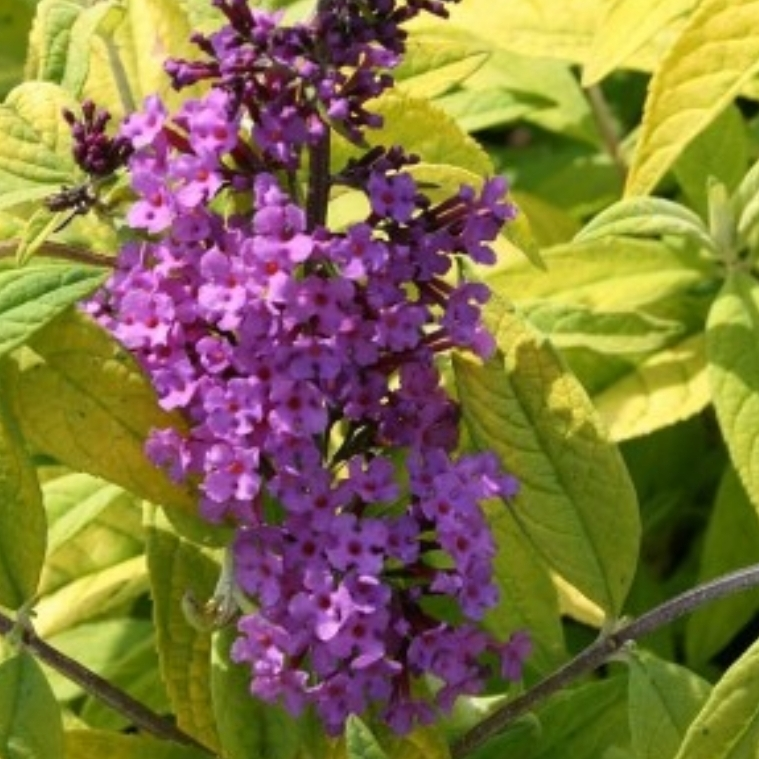 Butterfly Bush Moonshine in the GardenTags plant encyclopedia