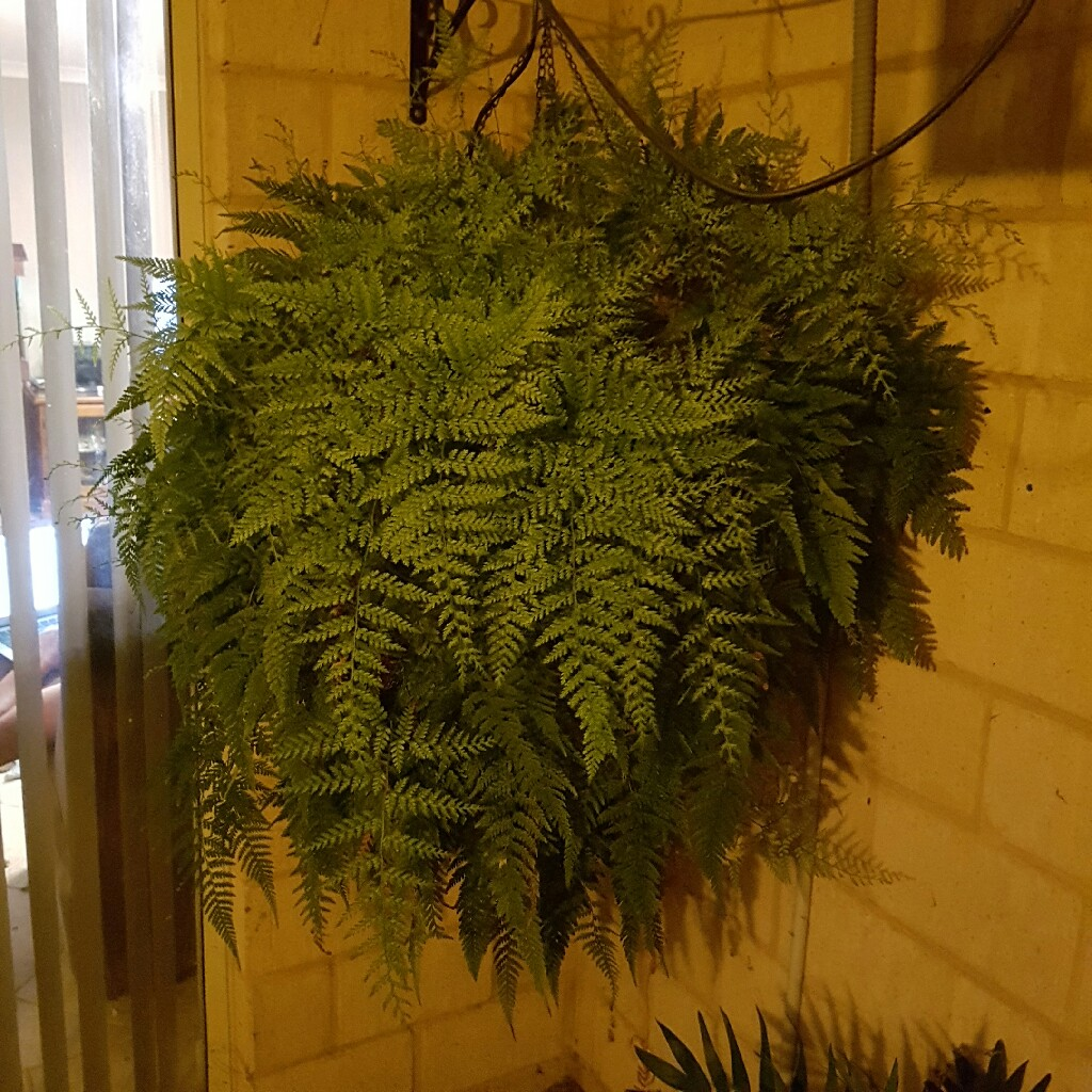 Rabbits Foot Fern in the GardenTags plant encyclopedia