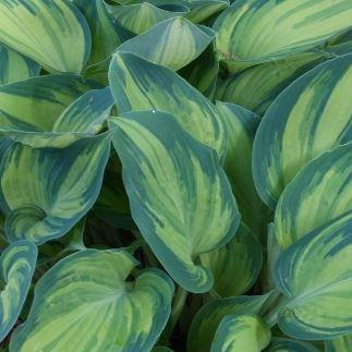 Plantain Lily June in the GardenTags plant encyclopedia