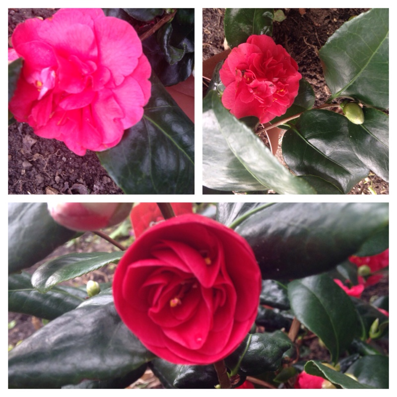 Camellia in the GardenTags plant encyclopedia