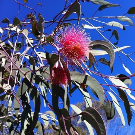 Eucalyptus Summer Red in the GardenTags plant encyclopedia