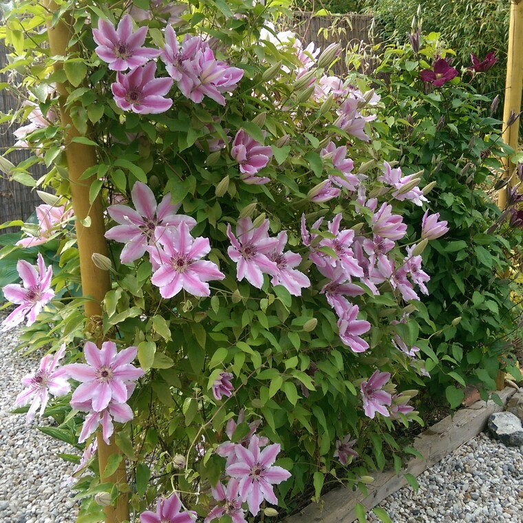 Clematis Nelly Moser in the GardenTags plant encyclopedia