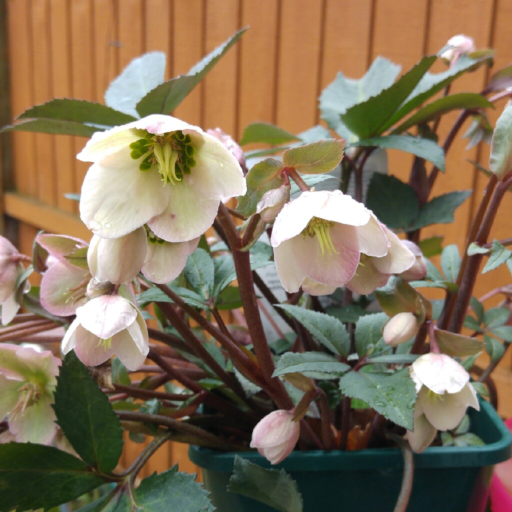 Christmas Rose in the GardenTags plant encyclopedia