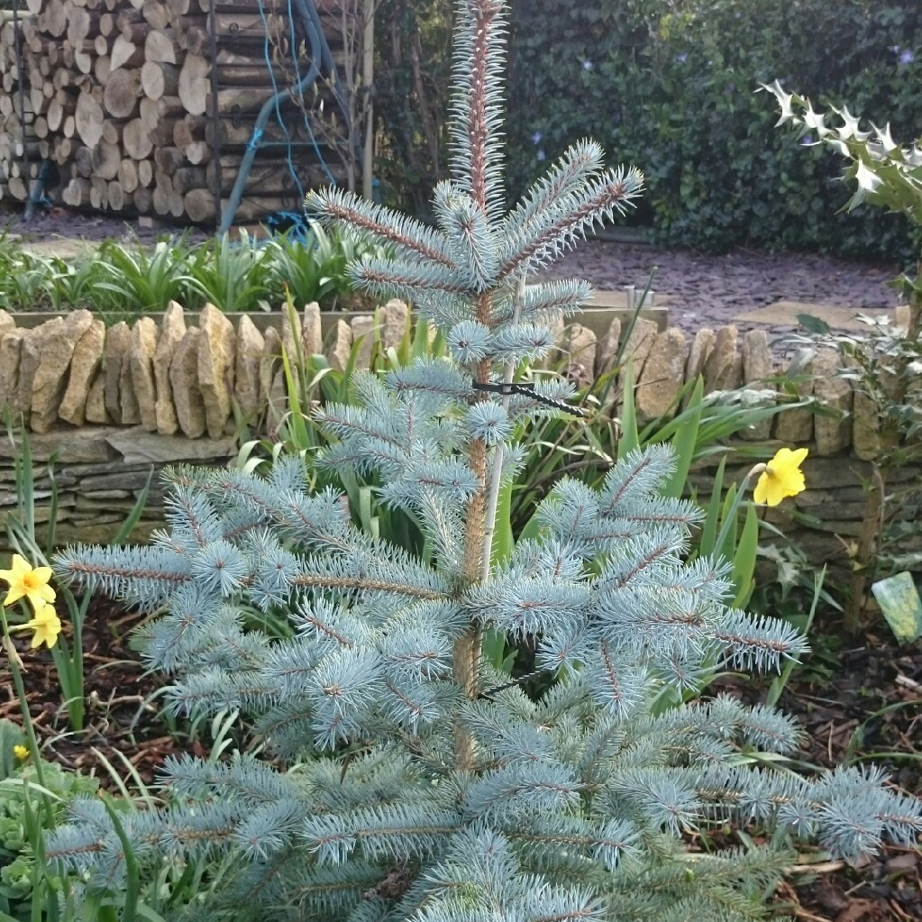 Picea Pungens Edith Blue Spruce In Gardentags Plant Encyclopedia