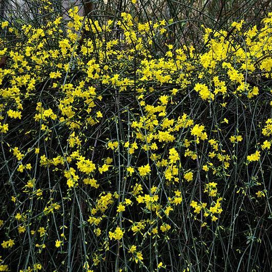 Winter Jasmine in the GardenTags plant encyclopedia