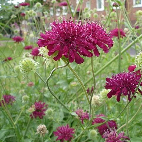 Macedonian scabious in the GardenTags plant encyclopedia