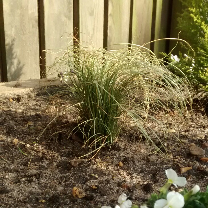 Picture of Live Sedge Grass aka Carex c. 'Frosty Curls' Plant Fit 1 Gallon Pot