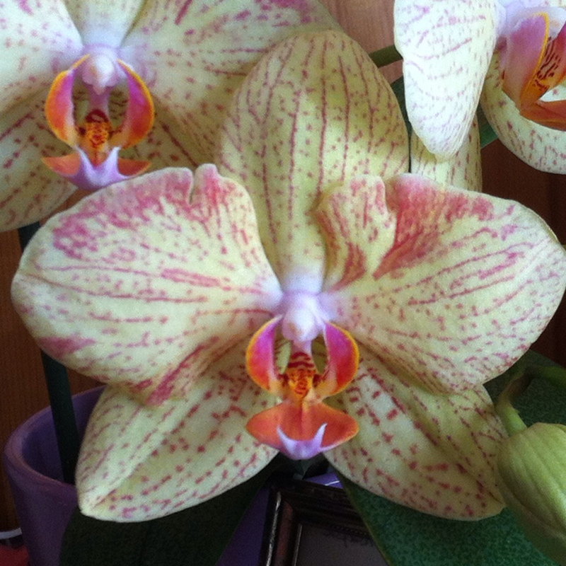 Hybrid Moth Orchid in the GardenTags plant encyclopedia