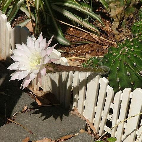 Echinopsis oxygona in the GardenTags plant encyclopedia