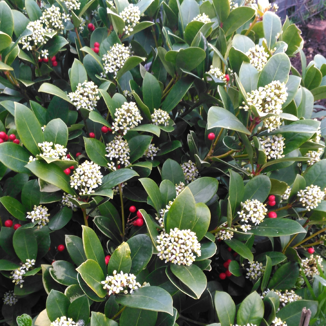 Japanese skimmia in the GardenTags plant encyclopedia