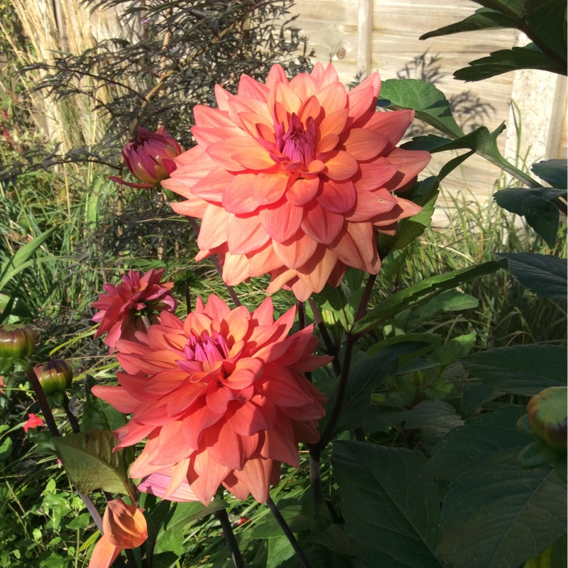 Border Dahlia in the GardenTags plant encyclopedia