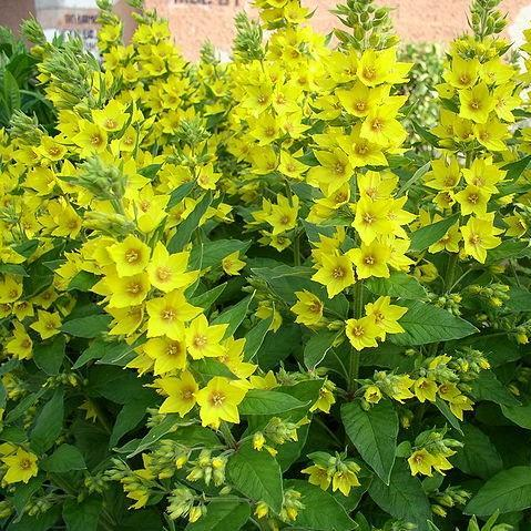 Large Yellow Loosestrife in the GardenTags plant encyclopedia