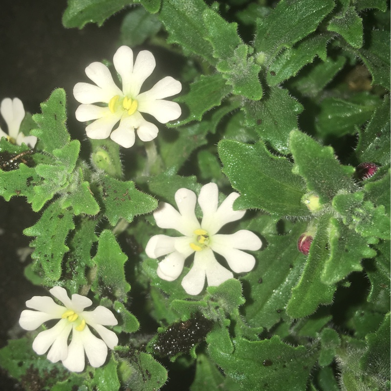 Night Scented Phlox Star Balsam in the GardenTags plant encyclopedia