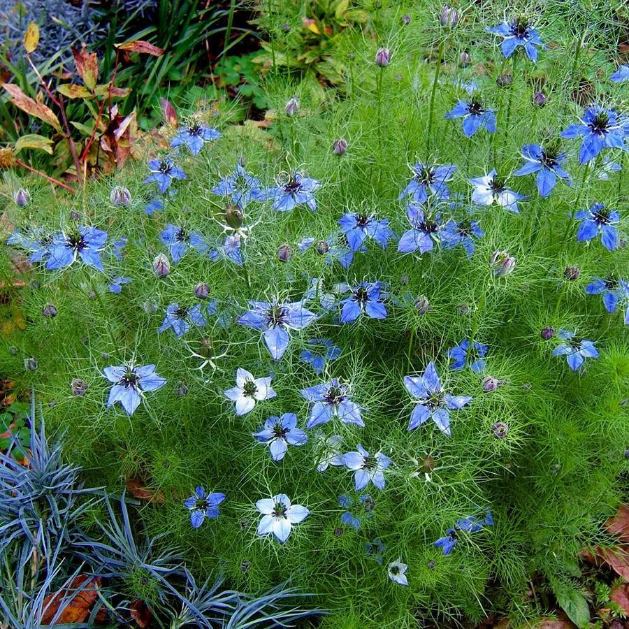 Love-in-a-mist in the GardenTags plant encyclopedia