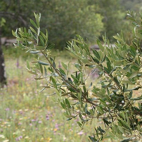 Olive Tree in the GardenTags plant encyclopedia